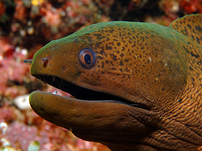 Moray Eel - copyright Ken Knezick, Island Dreams