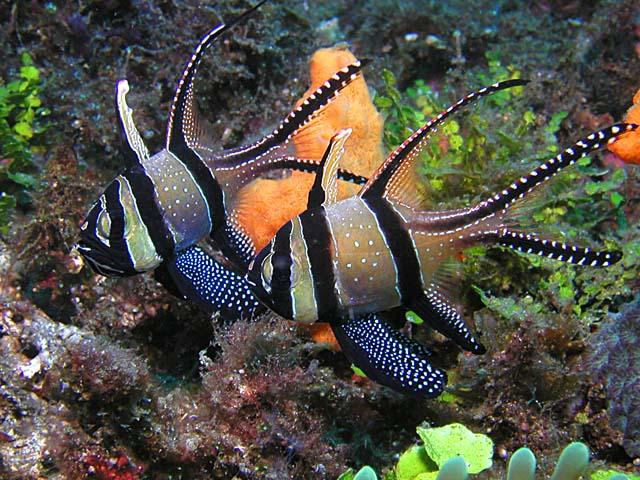 banggai cardinalfish - photo #10