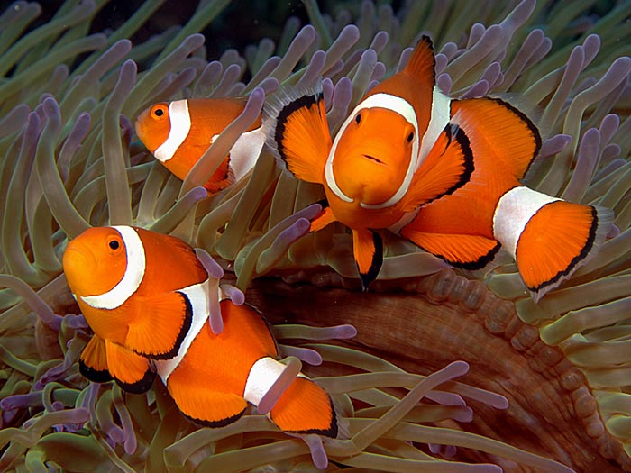 Clownfish Family - copyright Ken Knezick, Island Dreams