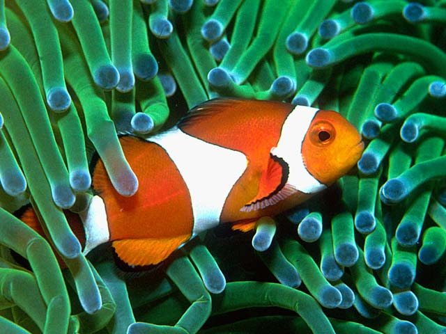What type of fish was dori from finding nemo honda tech for What kind of fish is nemo