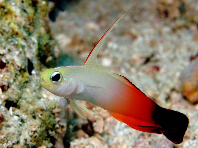 Red Fire-Goby - Copyright Ken Knezick, Island Dreams