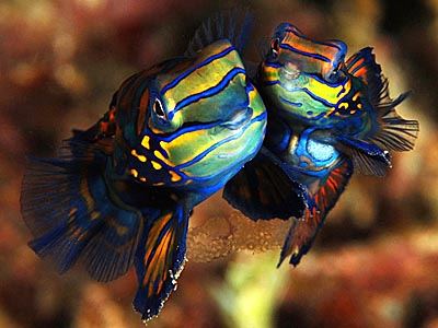 Mating Dance of the Mandarin Fish - copyright Ken Knezick