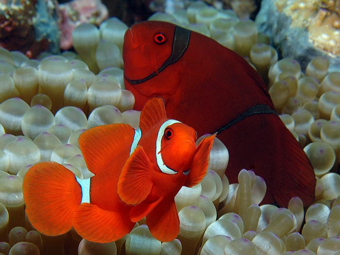 Spine-cheek anemone fish, Premnas biaculeatus (male is in the foreground)  - copyright Ken Knezick, Island Dreams