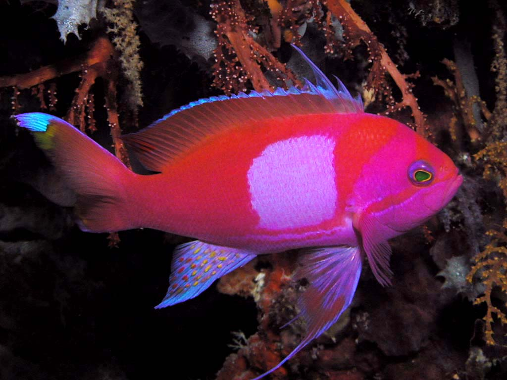 pink square anthias experience reef central online community