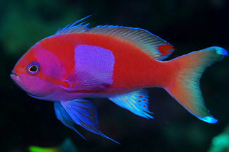 Square Spot Anthias at Fan 38 - Copyright Ken Knezick, Island Dreams